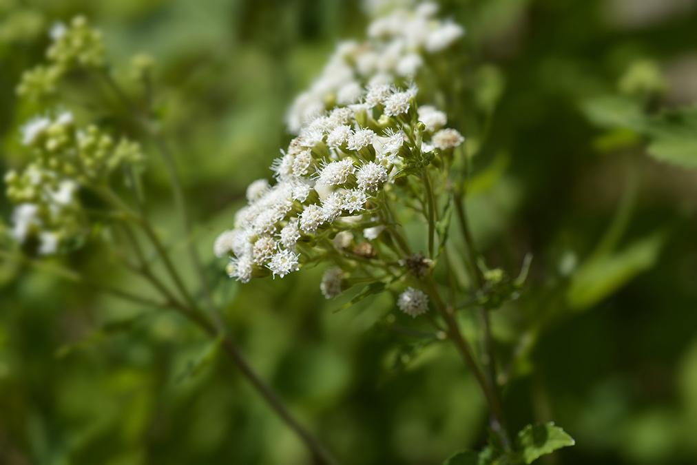 This Plant Eliminates Nail Fungus